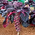 New Arrival!!! Purple Thousand-headed cabbage seed brussels sprouts cabbage mini vegetable seed - 40 seeds