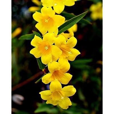 GELSEMIUM SEMPERVIRENS carolina jasmine vine rare fragrant flower seed 5 SEEDS : Garden & Outdoor