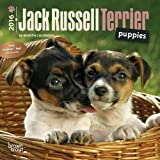 Jack Russell Terrier Puppies 2016 Mini 7x7 (Multilingual Edition)