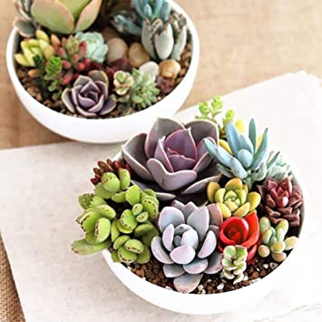 FLORAL TREASURE Mixed Lithops Seeds Living Stones Succulent Cactus Organic Seeds - 20 seeds