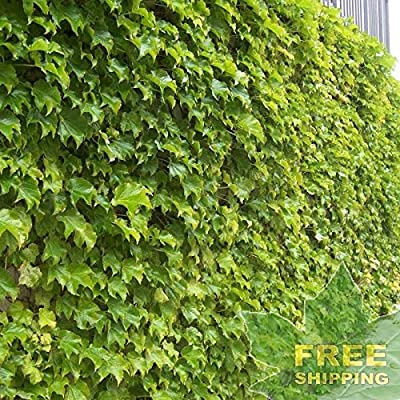 Boston Ivy Parthenocissus Tricuspidata - 10 Seeds : Garden & Outdoor