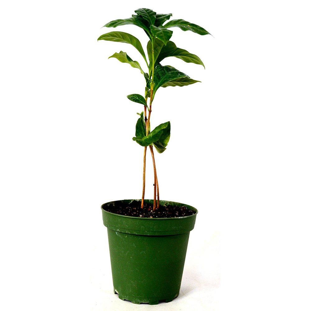 Arabica Coffee Plant 4'' Pot by Plant_Special (Image #1)