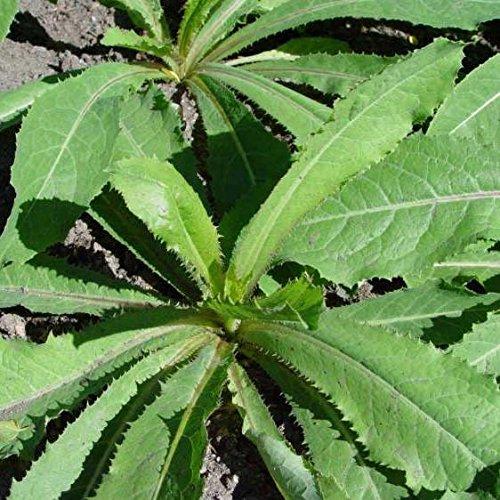 Amazon.com: Wild Lettuce (Lactuca Virosa) Alcohol-Free ...  Amazon.com: Wil...