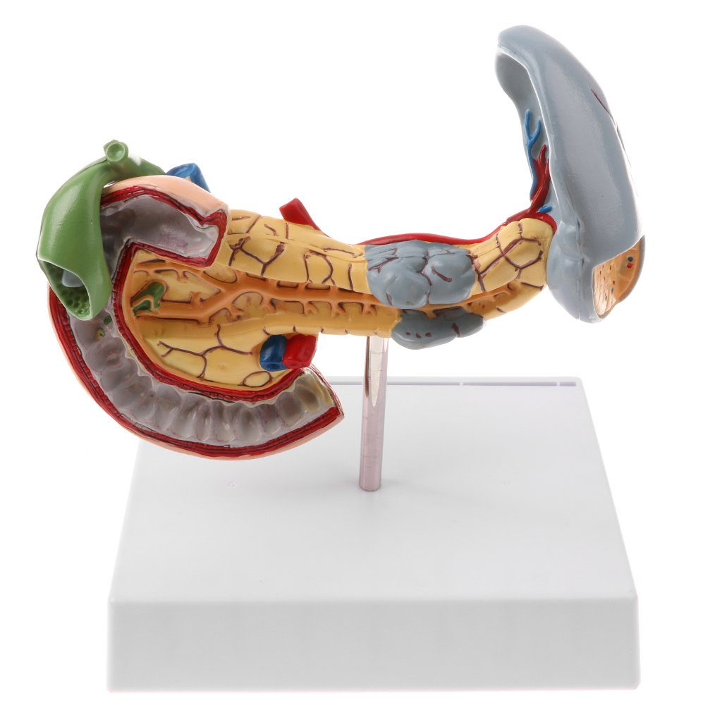 MagiDeal Anatomisches Lernwerkzeug - 1: 1 Huma Pankreas ...