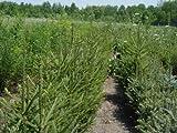 """25 Norway Spruce (Picea abies) 4-8"""" seedlings"""
