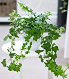 hedera helix 39 gold kolibri 39 efeu echte pflanze im 13 cm topf als h ngepflanze bodendecker. Black Bedroom Furniture Sets. Home Design Ideas