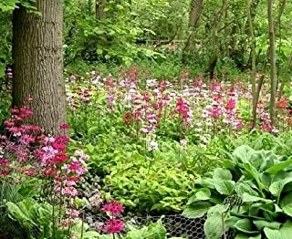 Primula Candelabra Layered Tall Mix Hardy Perennial Shade Primrose 50 Seeds