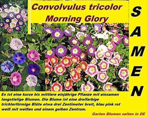 20x Convolvulus tricolor Morning Glory Blumen Samen Pflanze selten ...