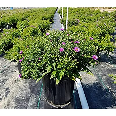 Aster 'Wood's Purple' (New york Aster) Perennial, purple flowers, #2 - Size Container: Garden & Outdoor