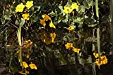 Home Comforts LAMINATED POSTER Caltha Palustris Flowering Plant Hahnenfußgewächs Poster