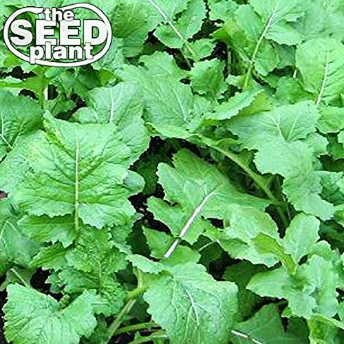(Seven Top Turnip Seeds - 1,000 Seeds Non-GMO)