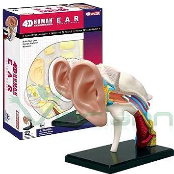 Modelo 4d de oído humano Canal conductos uditivo estructura Studio ...