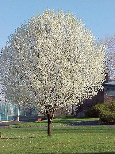 bradford-pear-tree-15-seeds-flowering-yard-tree