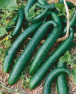 David's Garden Seeds Cucumber Slicing Green Dragon DGS236AO (Green) 25 Hybrid Seeds