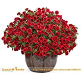 100 Seeds / Pack, Crimson Red Calibrachoa Petunia Annual Flower Seeds like Morning Glory Flower for Home Balcony Garden