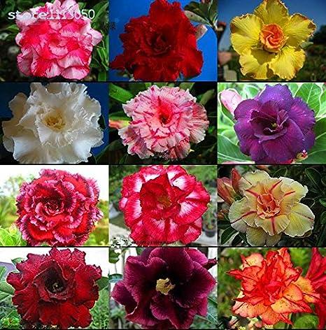 Nuevos 5pcs / bolso auténticos Semillas Adenium obesum Macetas Macetas arco iris rosa del desierto Semillas Bonsai planta semillas para jardín Rosa: ...