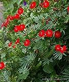Exotic Ipomoea SLOTERI @@ Cardinal Climber Morning Glory Flowering Seed 20 Seeds