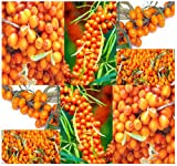 Sea Buckthorn or Seaberry ('Hippophae Rhamnoides') - 100 Medicinal Shrub Seeds