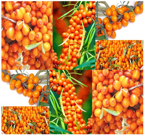 4 Packs X 100 Sea Buckthorn - Seaberry Sea Berry - Hippophae Rhamnoides - Medicinal Shrub Seeds - Very High Antioxidants Level - Zones 3 & Up - By Myseeds.Co SMR