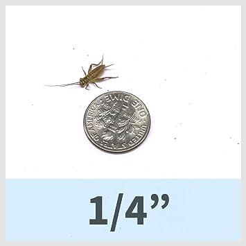 500 Live Medium acheta domesticus 1//2 Crickets
