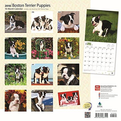 Boston Terrier Puppies 2018 Wall Calendar Photo #3