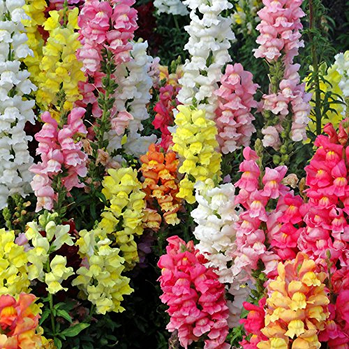 giant-ruffled-tetra-mix-snapdragon-seeds-certified-500-seeds-antirrhinum-majus-upc-643451295504