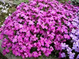 Seeds Flowers Aubrieta hibrida Pink creeping from Ukraine 0.1 gram
