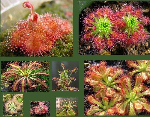 Drosera Seeds Collection (Sundew) - 25 Seeds , 10 different varieties grow your secret garden