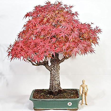 BONSAI ACERO CORTICOSA h.71 - Acer palmatum arakawa: Amazon.it ...