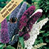"20+ Seeds, Butterfly Bush ""Mixed Colors"" (Buddleia Ddavidii) Seeds By Seed Needs"