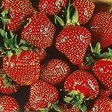 Quinalt Everbearing Strawberry 25 Bare Root Plants - Huge Fruit Size