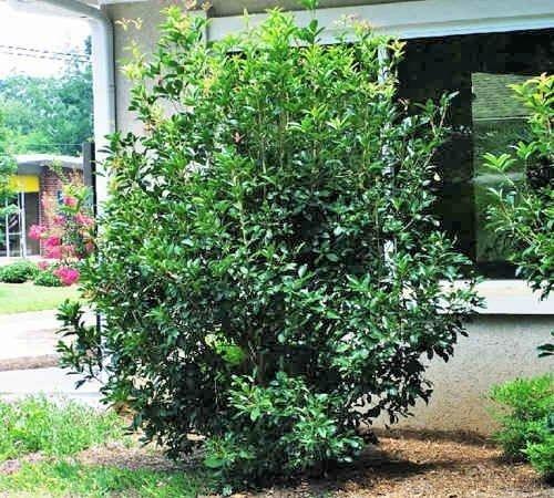 New Life Nursery & Garden Fragrant Tea Olive (Osmanthus) Live Plant, 3 Gallon Pot