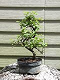 Flowering Sweet Plum Pre Bonsai Tree Flowers GREAT