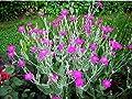 200 ROSE CAMPION Magenta Silver Catchfly Lychnis Silene Coronaria Flower Seeds