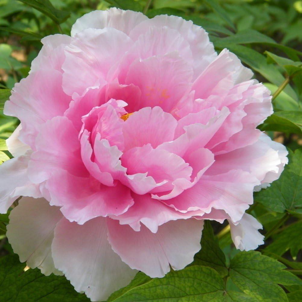lamta1k 10 Piezas Floración de Semillas de Flor de peonía floreciente perenne Calidad de Plantas perennes y Alta tasa de Supervivencia s Home Garden Decor - Pink Peony Seeds