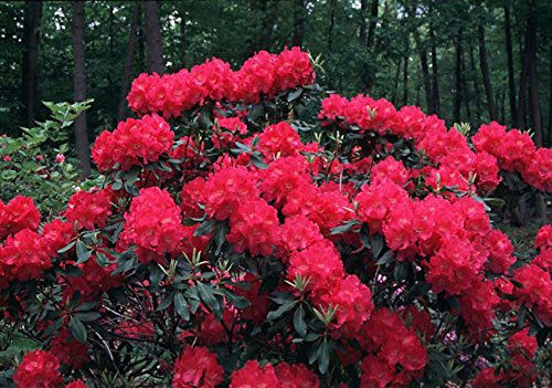 Nova Zembla Red Rhododendron - Quart Pot by New Life Nursery & Garden (Image #1)