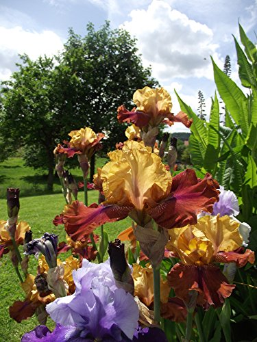 Bearded Iris Rhizomes (Reblooming Bearded Iris - 3 Large Rhizomes - Colorful Cocktail Mix - Blooms Twice in One Year | Ships From Easy to Grow)