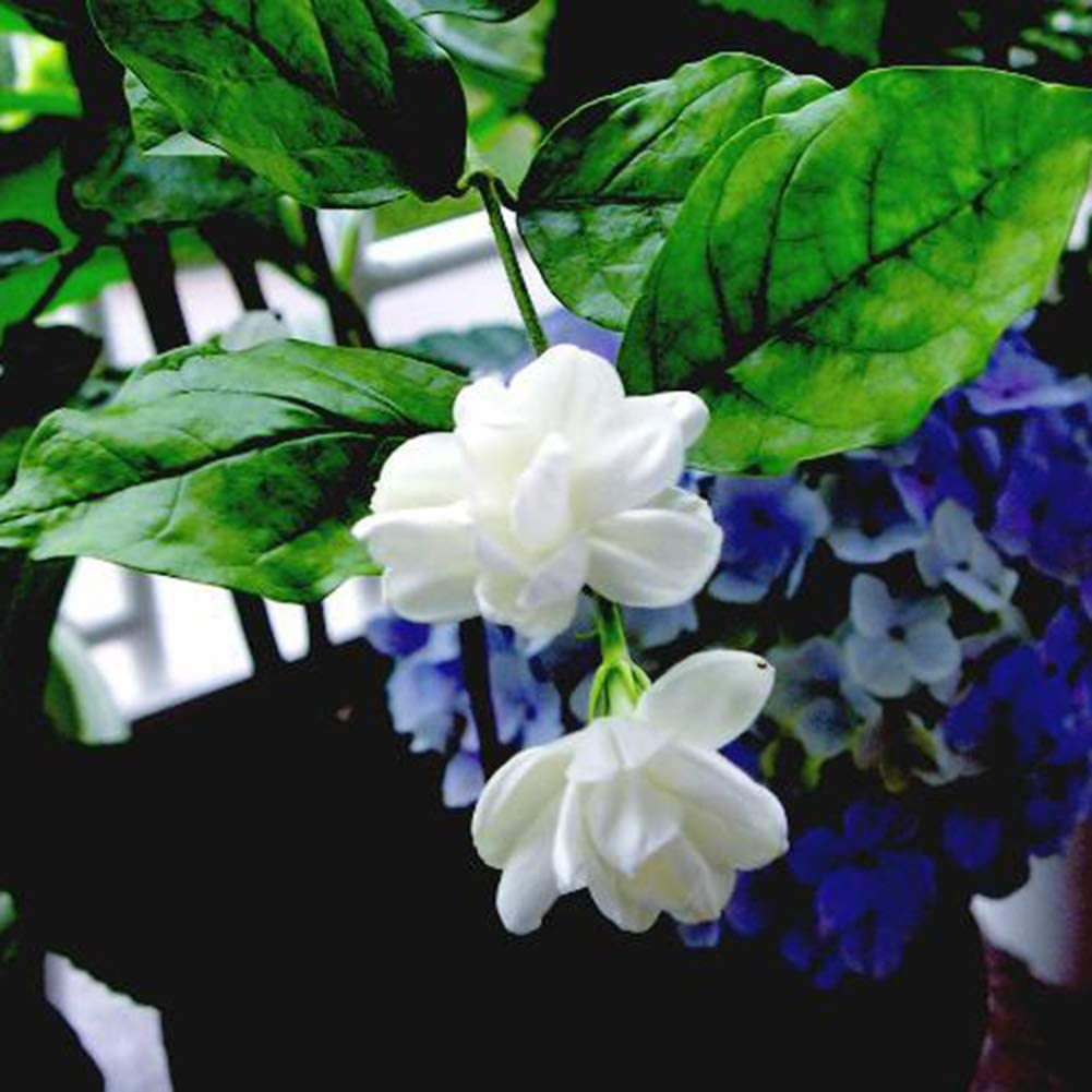 Lake View Jasmine Seeds everd1487HH Flower Seeds,20Pcs Lake View Jasmine Seeds Flower Garden and Home Bonsai Easy to Grow Flower Plant Seeds