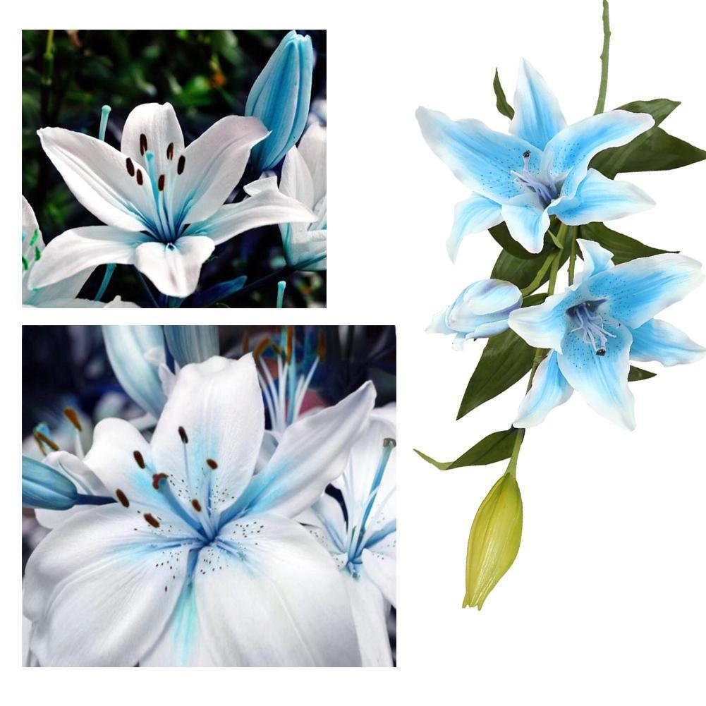 Amazon 50pcs blue rare lily bulbs seeds planting flower lilium amazon 50pcs blue rare lily bulbs seeds planting flower lilium perfume garden decor garden outdoor izmirmasajfo