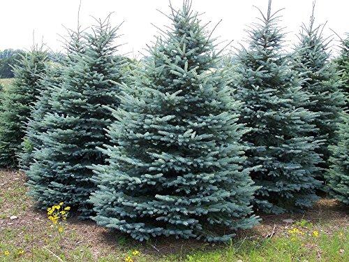 25 Seeds White Spruce Tree (Picea Glauca Lake States)