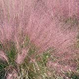 Outsidepride Pink Muhly Ornamental Grass Plant Seeds - 50 seeds