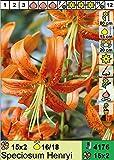 Lilium speciosum Henryi - Wildlilie/Riesen-Türkenbund 3 Blumenzwiebeln