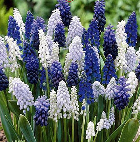 Delft Blue Grape Hyacinth Mix 36 Bulbs - Muscari - 8/9 cm Bulbs