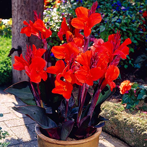 Cicitar Garden- 20pcs Rare Canna Lily Flower Mixed Yellow/red/Pink/Orange Fast Easy to Grow, Exotic Flower Seeds Hardy Perennial