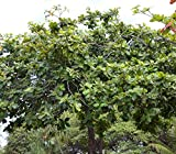 Tropical Indian Almond Seeds (Terminalia catappa) 2+ Rare Medicinal Tropical Fruit Tree Seeds