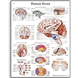 Tabella 3B Scientific Human Brain