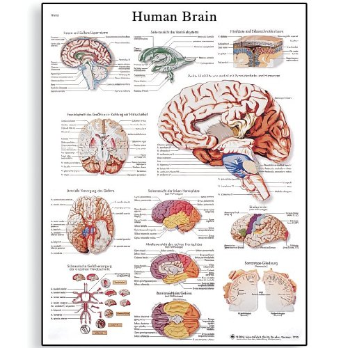 3B Scientific VR1615UU Glossy Paper Human Brain Anatomical Chart, Poster Size 20-Inch Widthx26-Inch Height