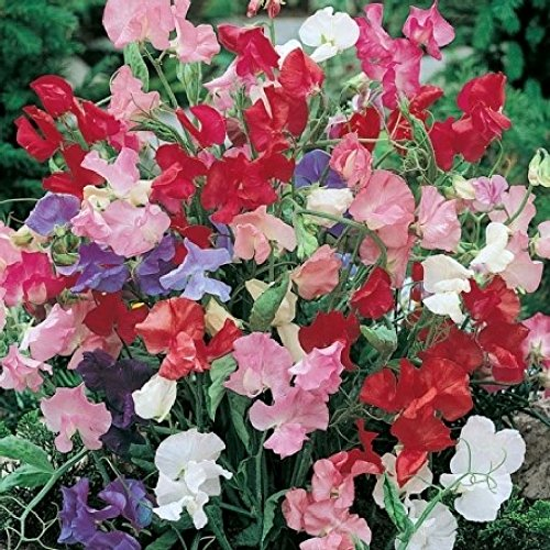 Sweet Pea Seeds (Dwarf) - Bijou Mix - Packet, Red/Pink/Purple/White Flowers