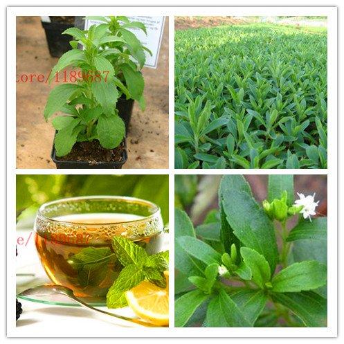 ChinaMarket 500 new Stevia Seeds, Stevia Herbs Seeds Green Herb, Stevia for Garden ()
