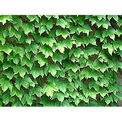 BOSTON IVY / JAPANESE CREEPER Parthenocissus Tricuspidata 5 seeds : Vine Plants : Garden & Outdoor